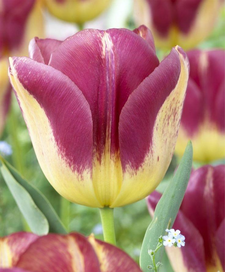 Tulip Boston - Triumph Tulips - Tulips - Flower Bulb Index