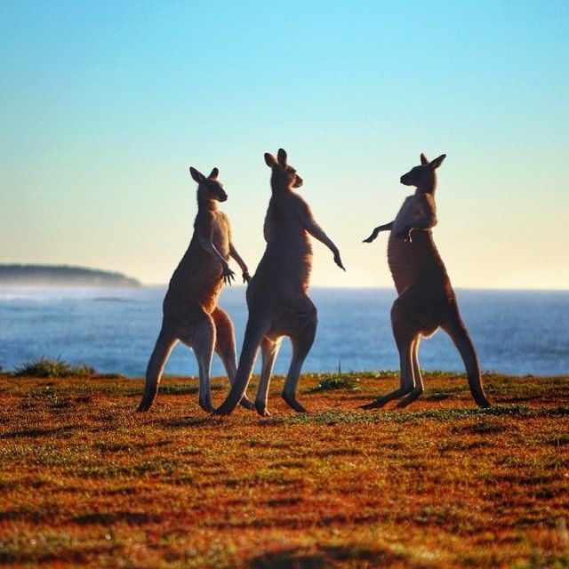 Looks like we're not the only ones who are excited that it's the weekend. These #kangaroos at Yuraygir National Park are literally jumping with joy! @chriznobs captured this awesome photo on the NSW North Coast between Yamba and Coffs Harbour.