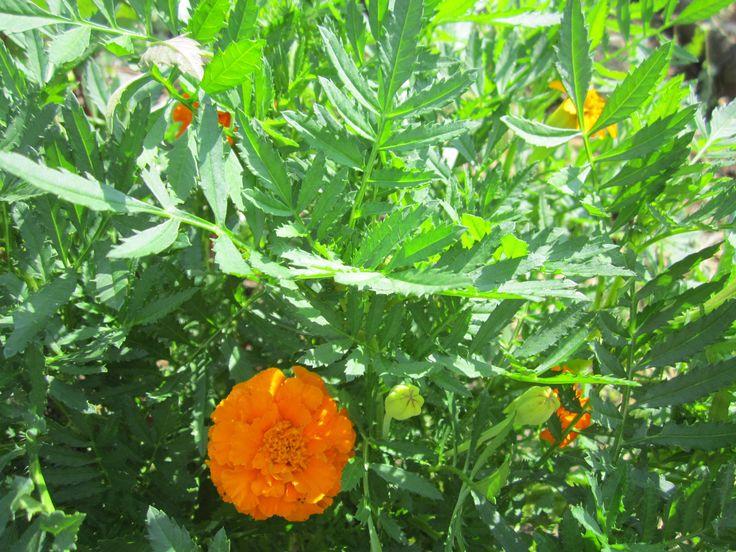 Бархатцы. В Турции этот цветок используется в виде приправы, как кориандр и базилик. Блюда приобретают неповторимый вкус и приносят пользу организму. Его добавляют в маринады, чтобы овощи становились упругими и ароматными. Мексиканцы собирают цветущее растение в букетики для отпугивания мух в доме и кладут мешочки с сухой травой в шкафы с одеждой, защищая ее от моли. Это еще и натуральный краситель, и борец с вредителями на огороде.