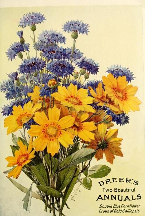 Dreer's 'Two Beautiful Annuals' - Double Blue Cornflower, Crown of Gold Calliopsis. Illustration by Alois Lunzer (b.1840) in Dreer's 1913 Garden Book.