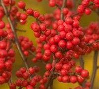 Berry Heavy Winterberry Holly Picture