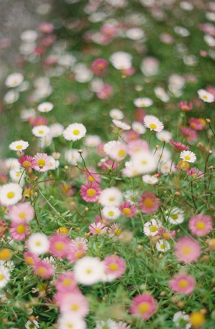 pink daisys. I also love the long tresses of white daisies, not sure what these are called but will be seeking some seed tosow  for next Spring