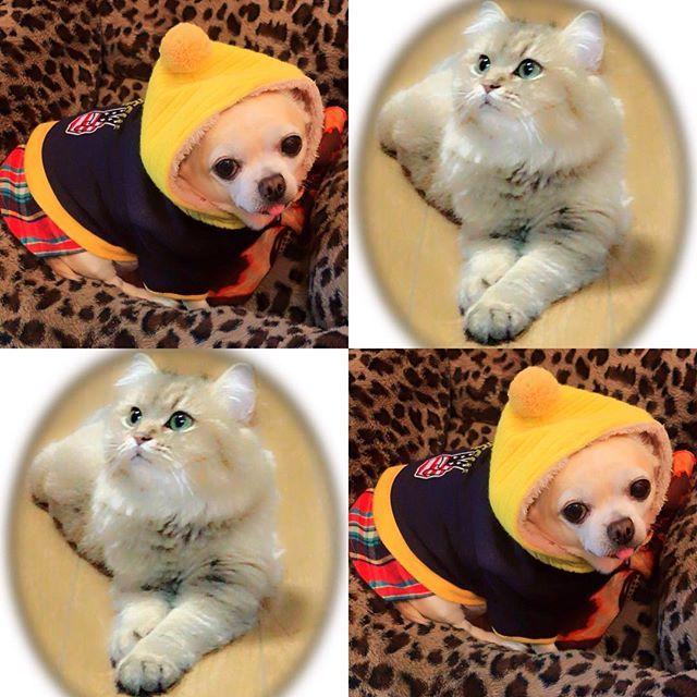 . 愛犬ピァ 愛猫トビ やはり我が子が1番。 #新宿 #新大久保 #歌舞伎町 #イケメン通り #愛犬 #愛猫 #チワワ #ペルシャ #chihuahua #persian #犬 #猫 #dog #cat #看板犬 #癒し #かわいい #おしゃれさんと繋がりたい #お洒落さんと繋がりたい