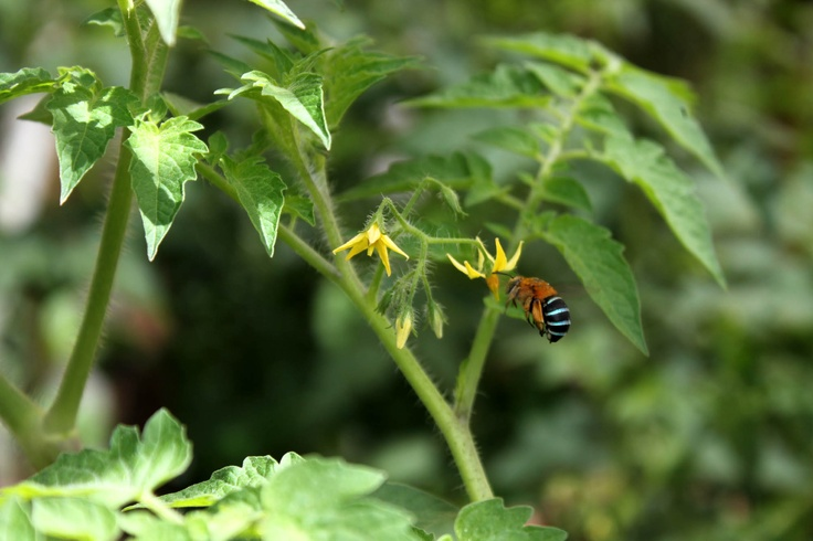Blue-banded bee hovering over the tomato plant