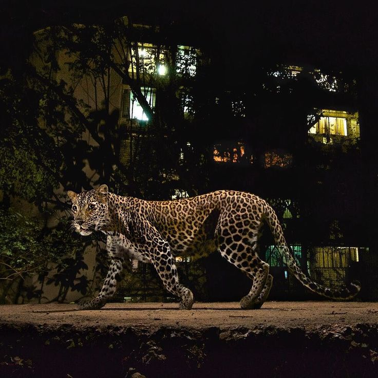 """natgeo: """"@natgeo @stevewinterphoto Here is more proof that we humans live with majestic animals in urban areas without even knowing they are there - AND without major problems - if we let them be. Leopards are the most adaptable and the most persecuted cat on our planet. Shot for my @natgeo Leopard story - here is a leopard walking in front of an apt. building on the edge of Sanjay Gandhi National Park in Mumbai India. http://ift.tt/1Qh2INg The residents of Mumbai use the park during the day…"""