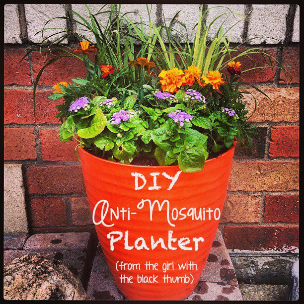 Using a variety of plants, you can make your very own anti-mosquito planter even if you don't have a green thumb!