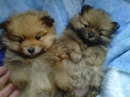 Toypoms for sale! Check out this link for details http://www.junkmail.co.za/v-johannesburg-pets-for-sale-dogs-puppies-3x-female-toypoms-pomerian-deworm-QZQYCatQX0082QYRgnQX0001QYAdQXF14389QYEdQX201217 Also check out http://www.junkmail.co.za/c-johannesburg-pets-for-sale-dogs-puppies-QZQYCatQX0082QYRgnQX0001 for more dogs for sale #Dogs #Puppies