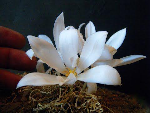 Gethyllis hallii flower and leaf in locality - LOCATION HABITAT DATA