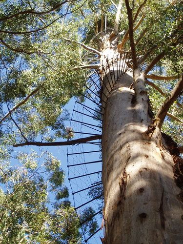 'Gloucester Tree' near Pemberton, West Australia - photo from gogobot; This is a 230+ feet tall karri tree in Gloucester National Park that used to be a fire lookout and is one of three that are available for visitors to climb. The Gloucester Tree has 153 pegs to climb to reach the platform 200 feet up (and up and up..........). - info from pembertonvisitor