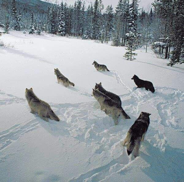 il lupo, a differenza di altri predatori, che conducono vita solitaria, vive in branco. Sono tre le caratteristiche che principalmente determinano i meccanismi di autoregolazione del lupo e che ne fanno una specie unica a livello comportamentale: la struttura di branco, la forte territorialità e l'alta capacità di dispersione...