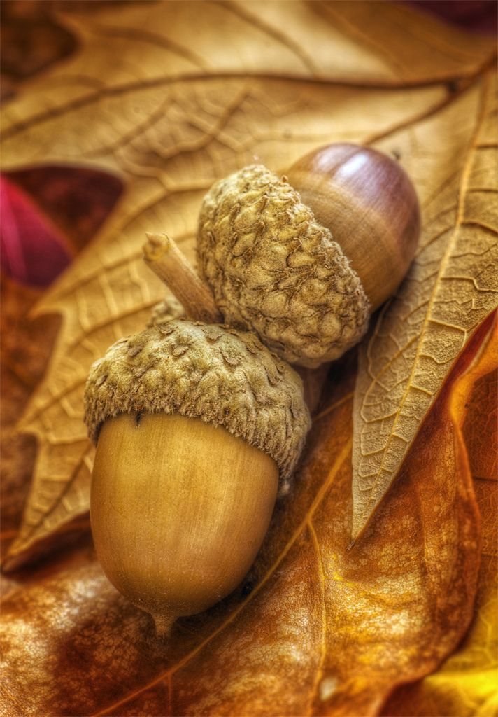 """The creation of a thousand forests is in one acorn.""~ Ralph Waldo Emerson Acorns and Leaves by Howard via flickr. #Photography #Autumm #Acorns"