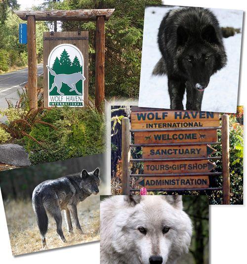 Mejores 71 imágenes de Wolves en Pinterest