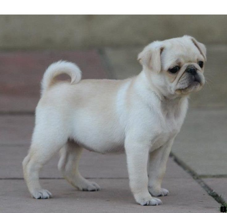 Find Out About Pug Puppies Price Simply Click Here To Find Out