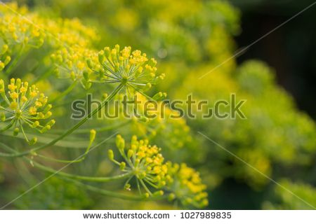 Flower dill spices growing in the garden