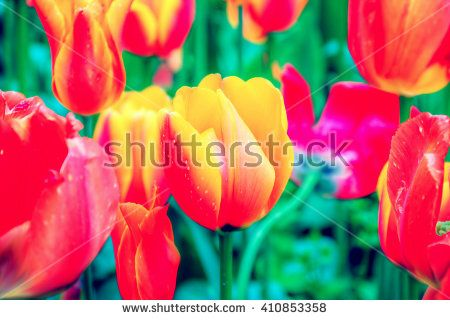 Field of tulips in bloom. Filter. Blurry. Low key