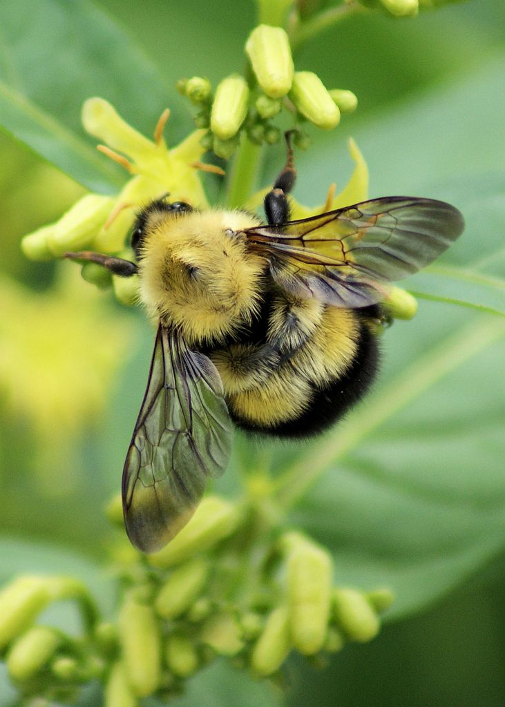 One of the 250+ species of bumblebee!  These are important pollinators, who live in small colonies, often underground.  Be sure to leave them areas where they can make nests!