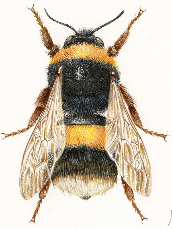 Illustrations naturalists and scientists - Paintings insects - Gallery - Category: entomological illustrations - Image: Earth Bumblebee