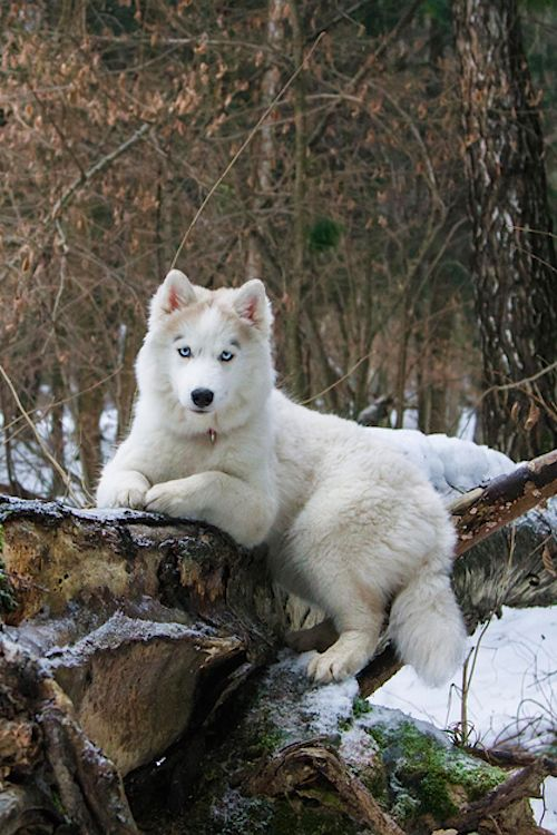 Beautiful animal. Love the 'eyeliner' on those ice blue eyes! tumblr: The Lavish Society