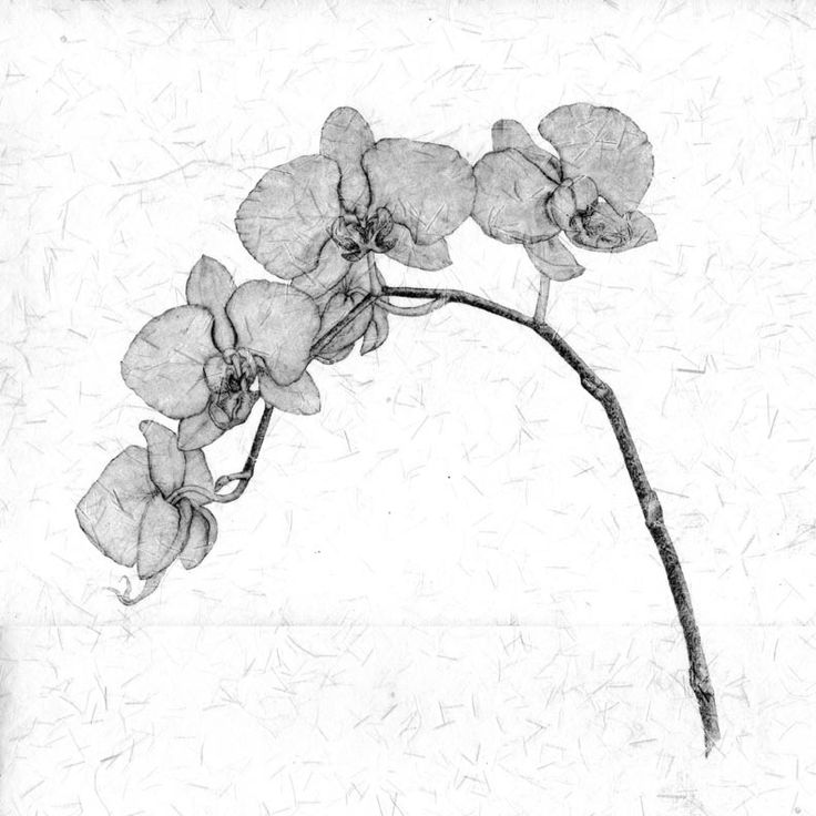 85 Best Flowers Drawings Of Orchids Images On Pinterest