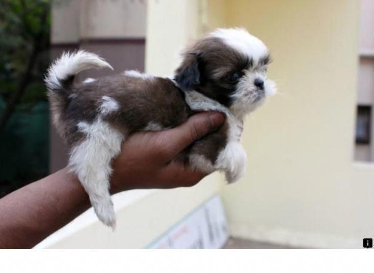 Everything About Cute Shih Tzu Puppy Size Shihtzulife Shitzudogs Shihtzupuppy Shih Tzu Puppy Shih Tzu Shih Tzu Funny