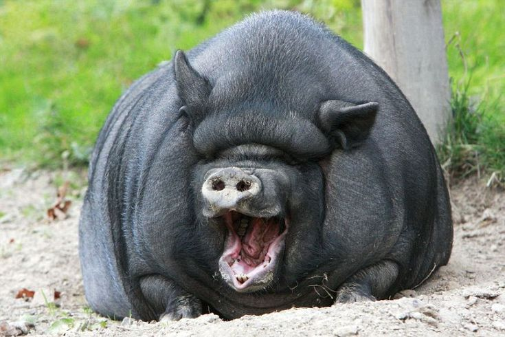 A belly-laugh from Vietnamese Pot-bellied pig.Picture: Caters News Agency