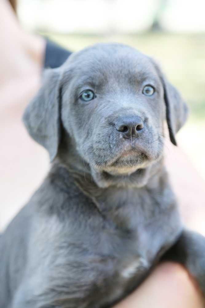 Labmaraner dog for Adoption in White River Junction, VT. ADN-645992 on PuppyFinder.com Gender: Female. Age: Baby