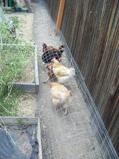 Chunnel: the chicken tunnel. Love this--so clever! We know from experience that giving the chix a run around the garden perimeter is a good way to keep bugs and rodents out.