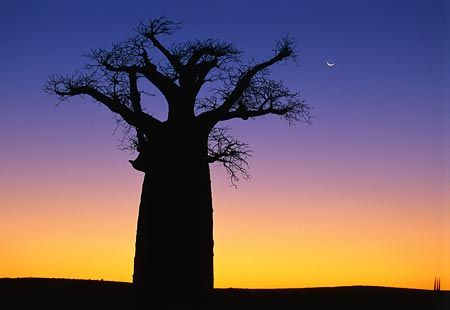 Silhouette of a boabab tree at sunset, Madagascar, Africa (© Kevin Schafer/Corbis)