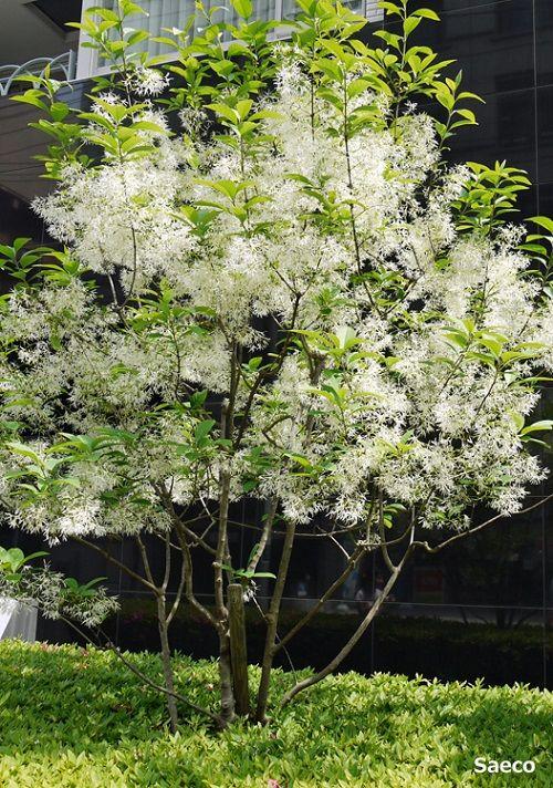 モクセイ科ヒトツバタゴ属(別名:ナンジャモンジャノキ) 元々は愛知県、岐阜県の限られた土地に生息していて、「この木はいったいなんじゃ?」と言った謂れから別名があるようです。近年は関東圏でも並木などに植えられ、ゴールデンウィークの季節にフワフワした雪のように咲く花を楽しめるようになりました。