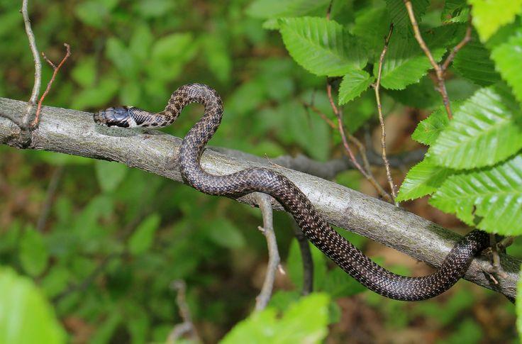 Wąż Eskulapa Zamenis longissimus