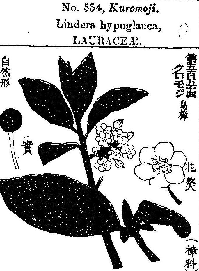 クロモジ 有用植物図説 (1891)