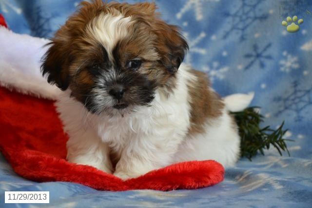View Ad: Pembroke Welsh Corgi Puppy for Sale near New ...