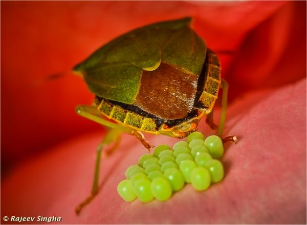 Green shield bug laying eggs