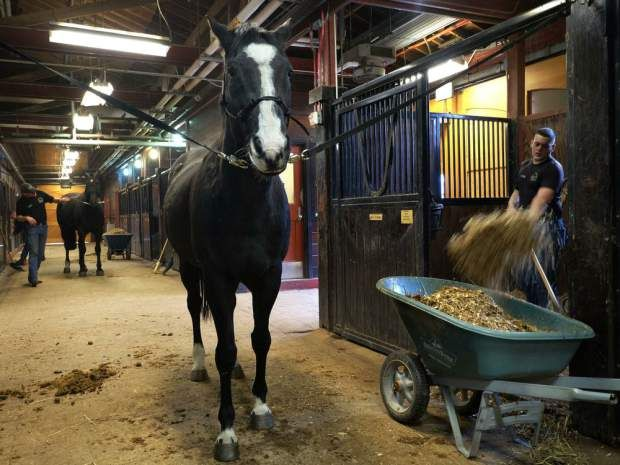 Quincy -- one of two horses available for adoption --waits while stalls are cleaned in the Caisson Stables at Ft. Myer in Arlington, VA, on Feb. 17, 2016. The Old Guard, the soldiers of Arlington National Cemetery are offering two horses for adoption.