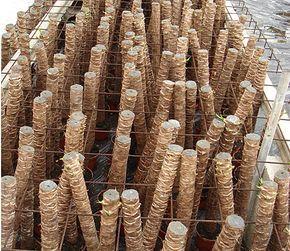 Production de yuccas par boutures de tronçons de troncs en Amérique centrale.