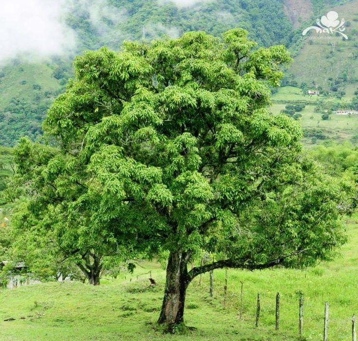 M s de 25 ideas incre bles sobre jardines nativos en for Arboles nativos de colombia jardin botanico