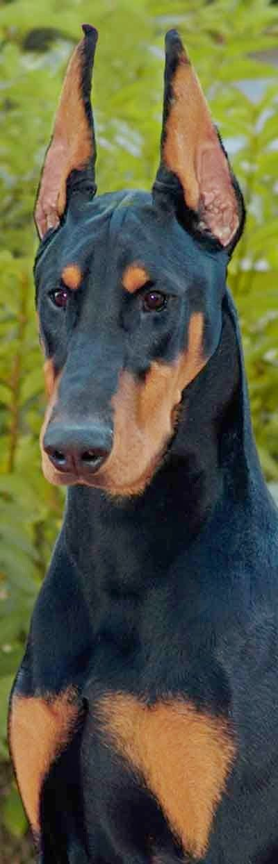 Doberman Pinchers are extremely loyal, very alert and obeys their owners commands which makes them perfect for family guard dogs.