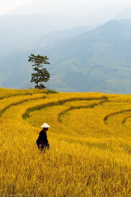 Yellow rice fields in Xín Mần, Northeast Vietnam by Arnaud Foucard, via Flickr