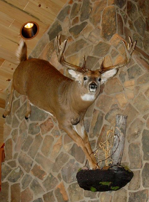 95 Best Images About Taxidermy Mounts On Pinterest Wall