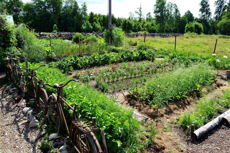 My kitchen garden gives us all vegetables we eat from may-december. In Sweden. #garden #growfood #trädgård #odla