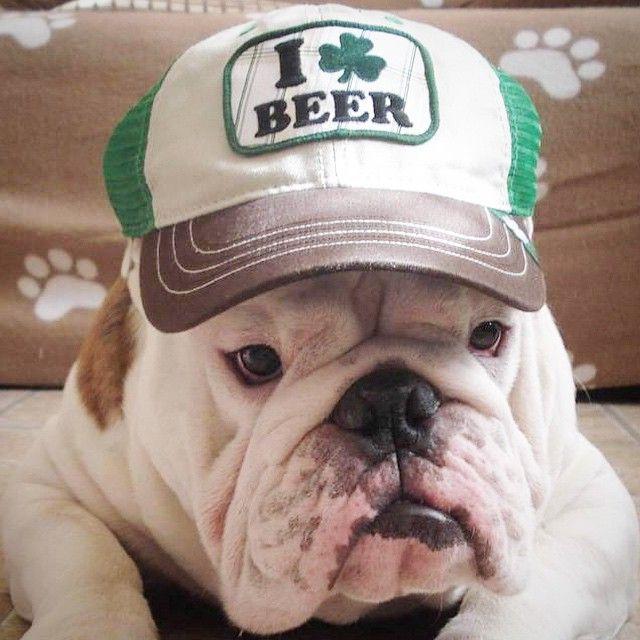 English Bulldog                                                                                                                                                                                 Mais