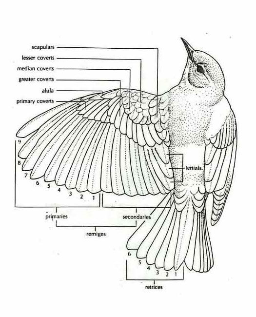 anatomy of a bird wing bravegirlsclubcom - Animal Anatomy Coloring Book