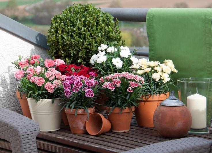 Topfnelken auf der Terrasse