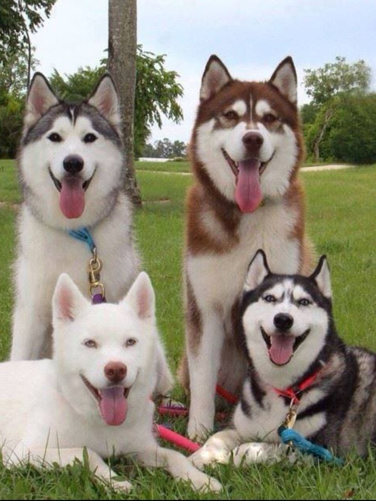 A small sampling of the rainbow of Siberian husky coat colors! Check out this breakdown of husky colors & markings: http://www.huskycolors.com/rescue.html