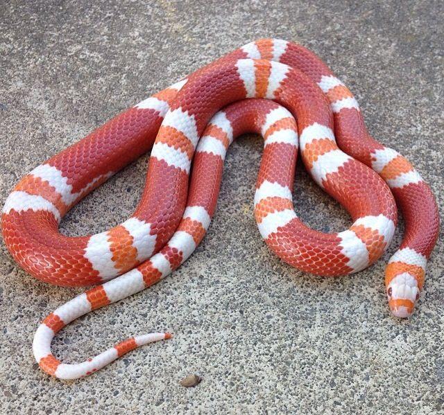 Albino Honduran milk snake. | snakes | Pinterest
