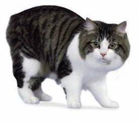 Cymric Cat No Tail