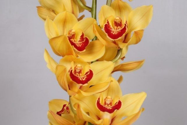 Yellow Cymbidium Orchid 10 Stems Bulk Flowers Bulk Flowers J R Roses Wholesale Flowers In 2020 Wholesale Flowers Cymbidium Orchids Orchids