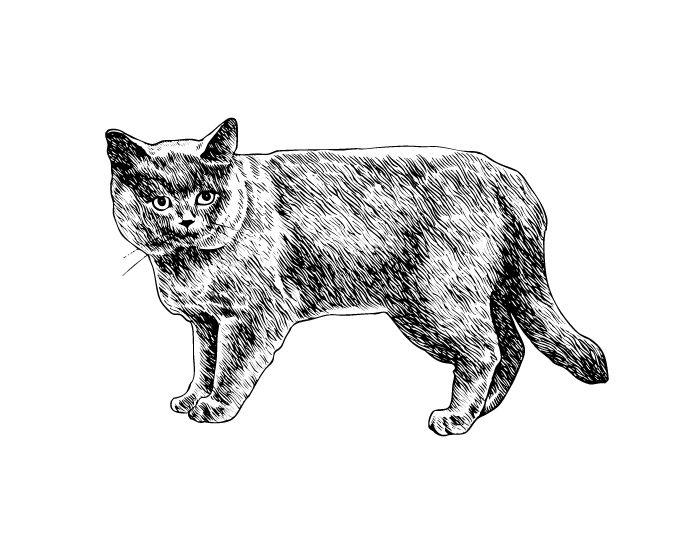 Британская короткошерстная кошка. Описание: история, характер, интеллект кошек породы Британская короткошерстная кошка. ФОТО. Содержание и кормление кошек породы Британская короткошерстная кошка - Glorypets