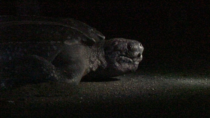 The leatherback is the largest of all marine turtles, having been found to weigh up to one ton. Photo by David Arthur.