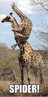 Funny Picture - Scared Giraffe Spider